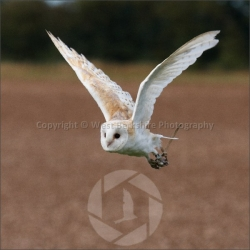 Barn Owl in flight 1