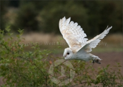 Barn Owl in flight 2