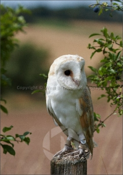 Barn Owl on branch