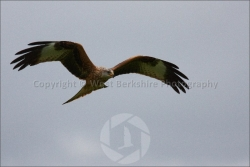 Red Kite in flight 4